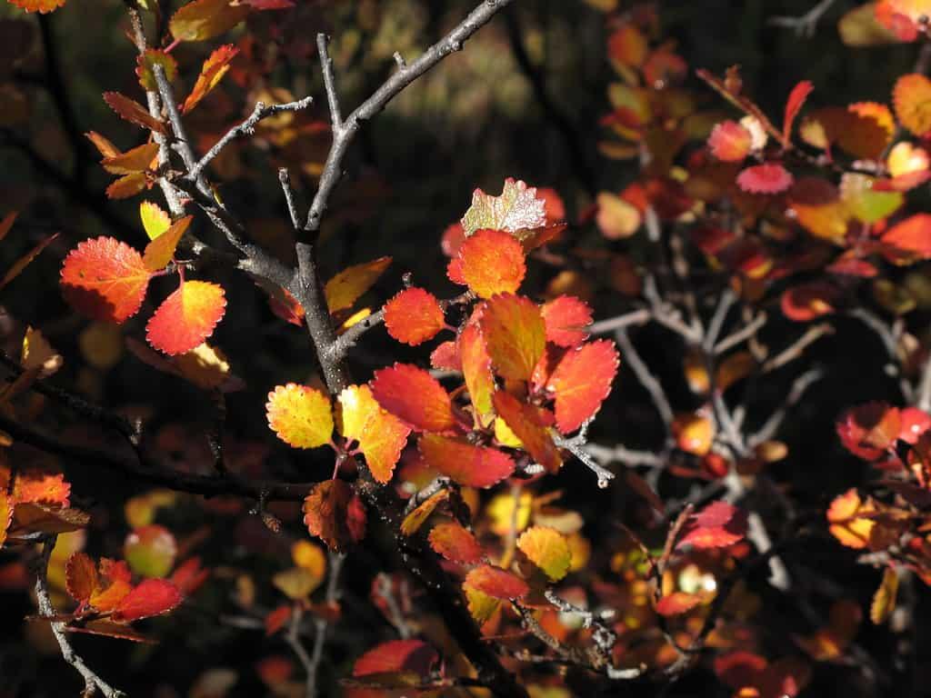Bog Birch (Betula Pumila)