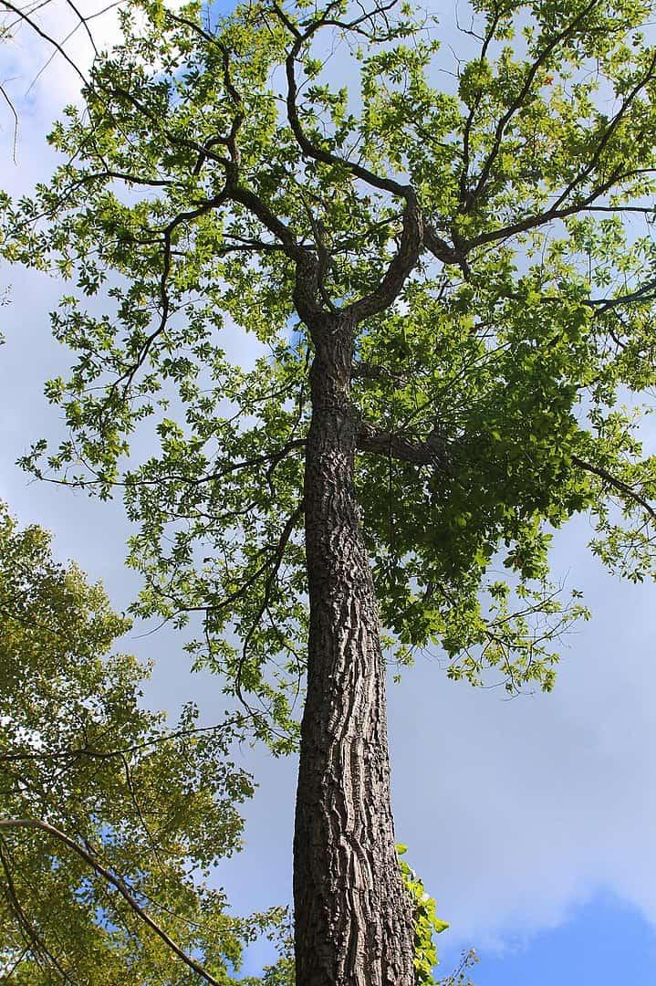 Chestnut Oak (Cuercus Montana)