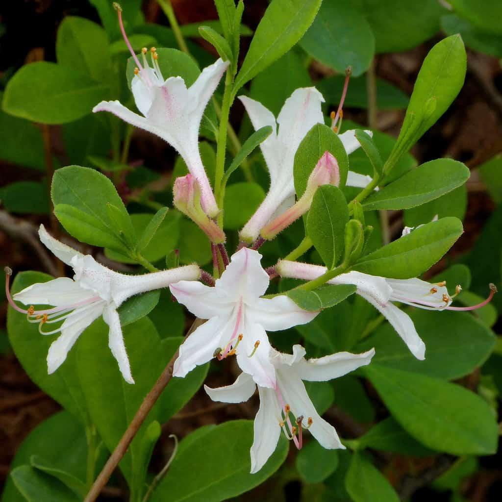 Coast Azalea (Rhododendron Atlanticum)