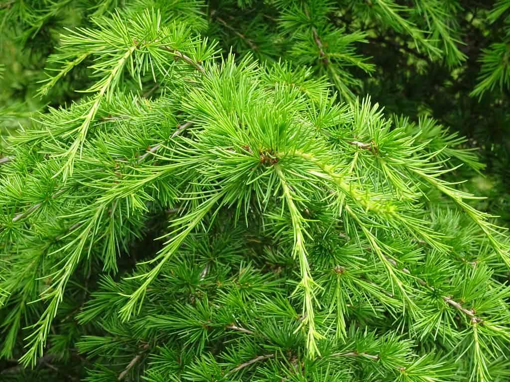 Cyprian Cedar (Cedrus Brevifolia)