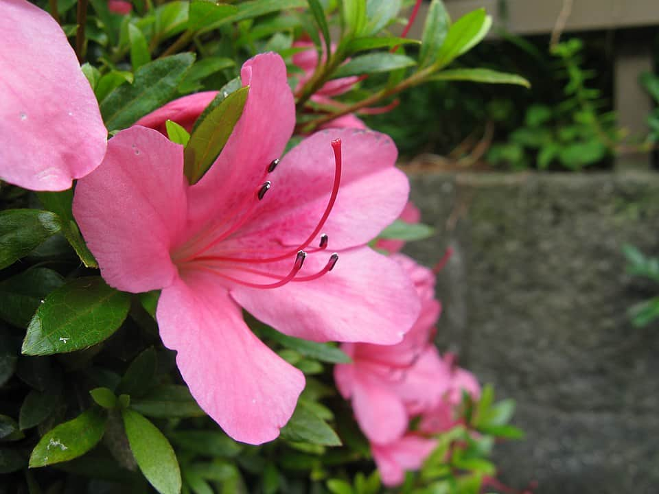 Formosa Azalea (Rhododendron Indicum)