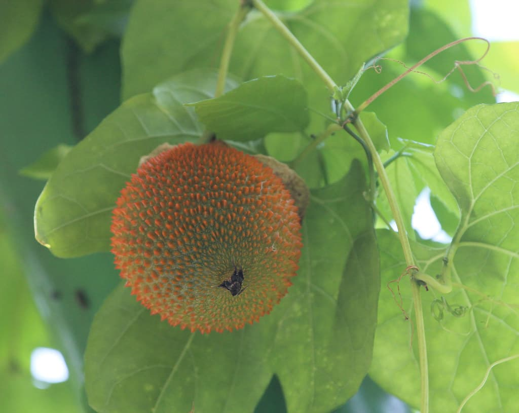 Gac (Momordica cochinchinensis)