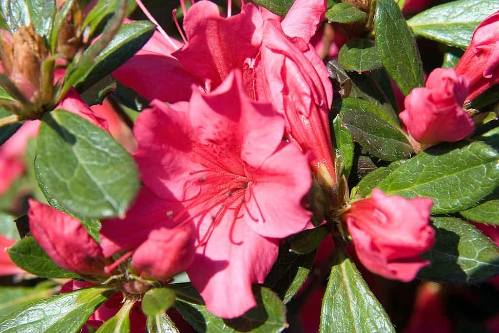 Girard's Rose Evergreen Azalea (Rhododendron' Girard's Rose')