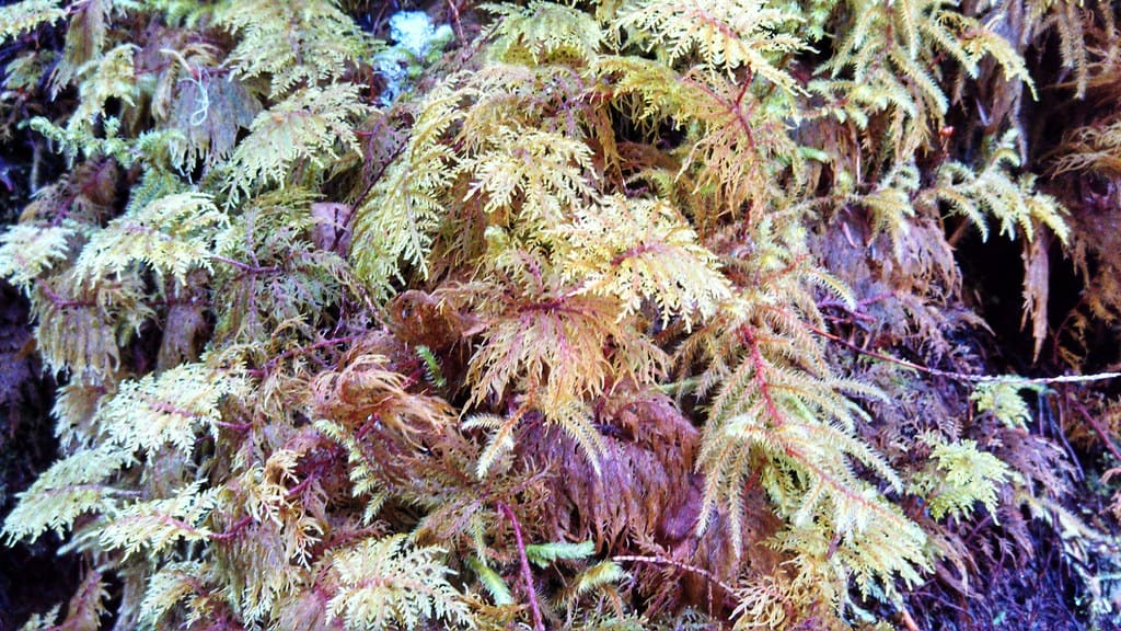 Glittering Wood (Hylocomium splendens)