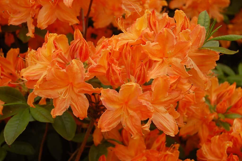 Golden Lights Azalea (Rhododendron 'Golden Lights')