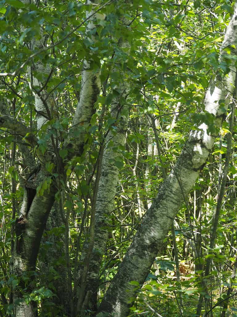 Gray Birch (Betula Populifolia)