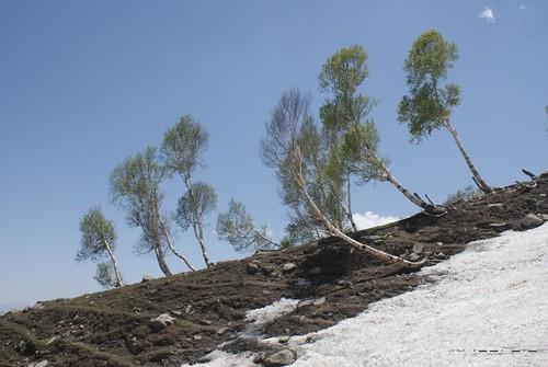 Himalayan Birch (Betula Utilis Var. Jacquemontii)