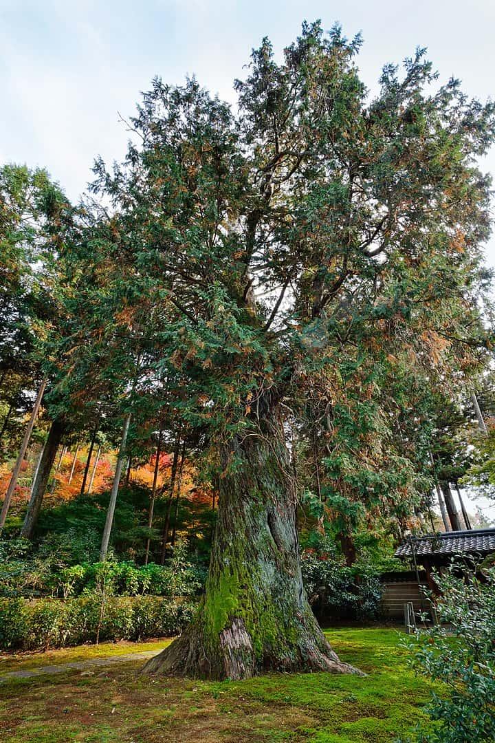 Hinoki Cypress (Chamaecyparis Obtusa)
