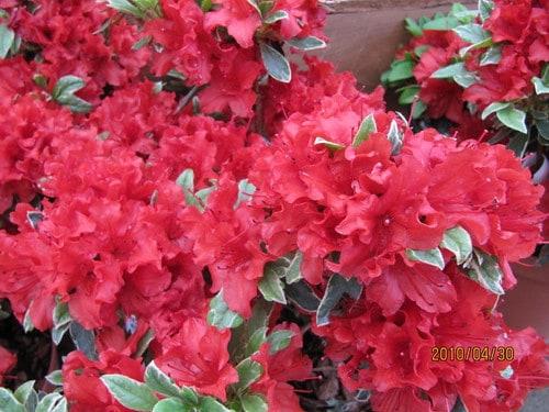 Hot Shot Azalea (Rhododendron' Girard's Hot Shot')