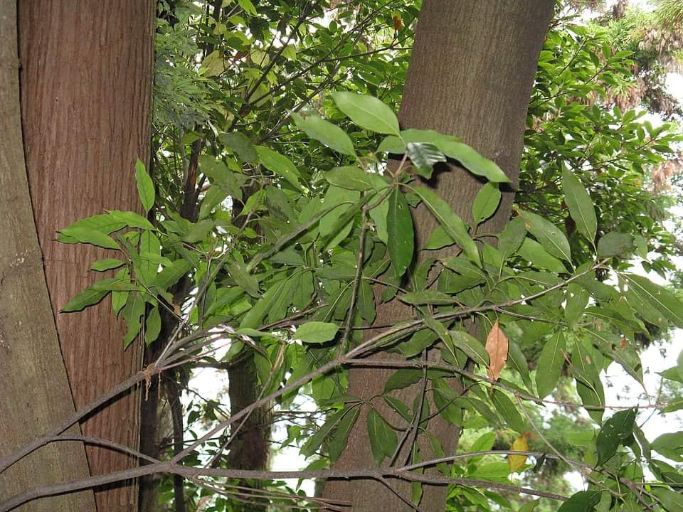 Japanees Evergreen Oak (Quercus Acuta)