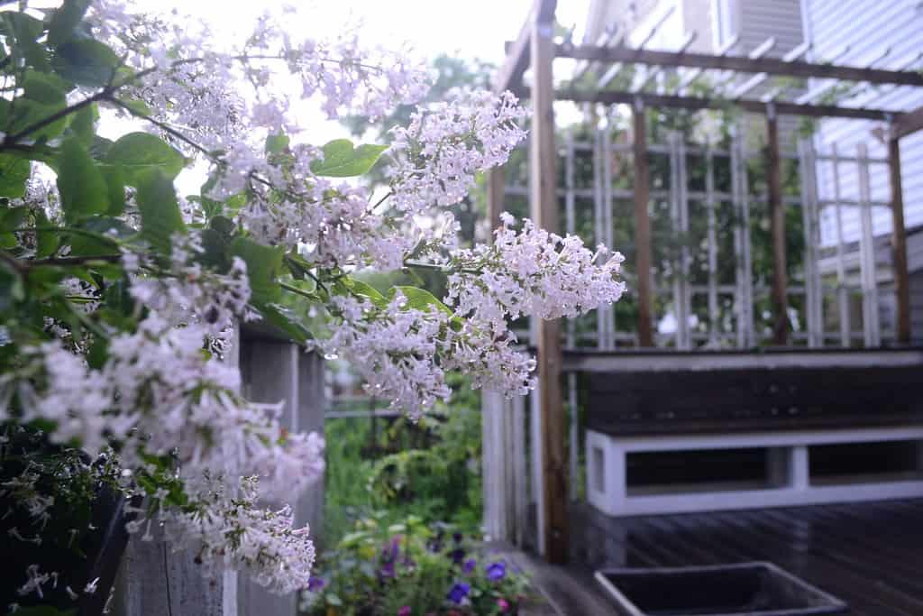 Japanese Lilac (Syringa reticulata)