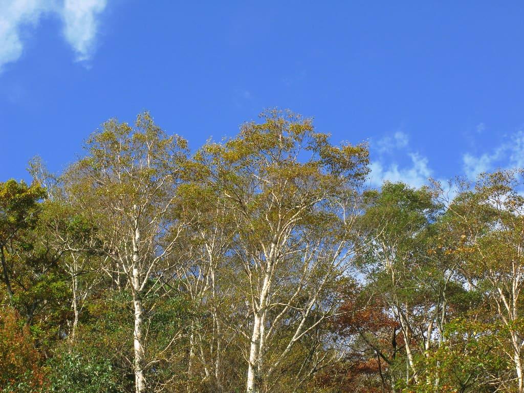 Japanese White Birch (Betula Platyphylla)