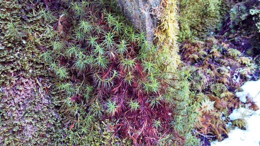 Juniper (Polytrichum juniperinum)