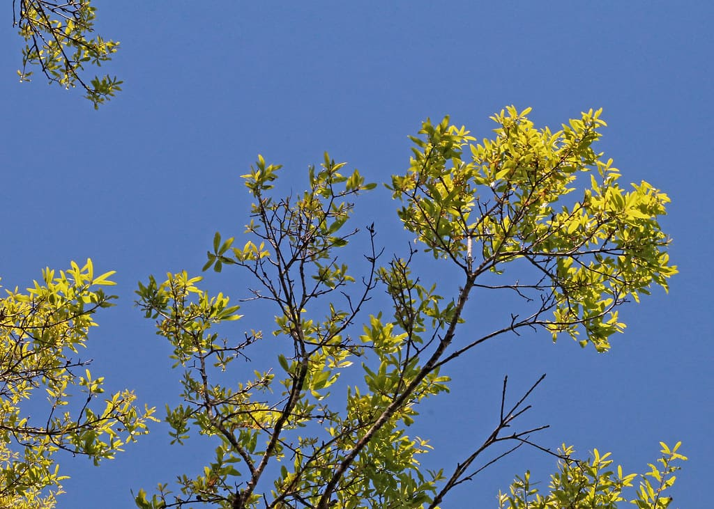 Laurel Oak (Quercus Laurifolia)