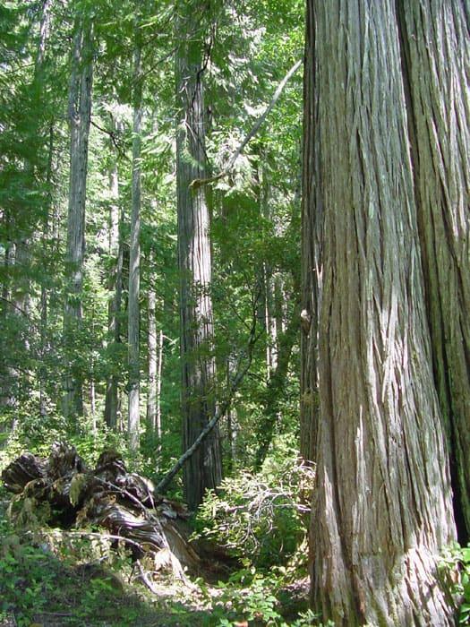 Lawson Cypress (Chamaecyparis Lawsoniana)