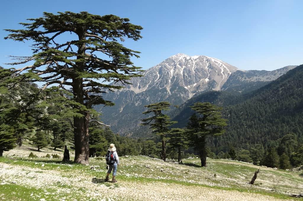 Lebanon Cedar (Cedrus Libani)