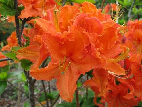 Mandarin Lights Azalea (Rhododendron' Mandarin Lights')