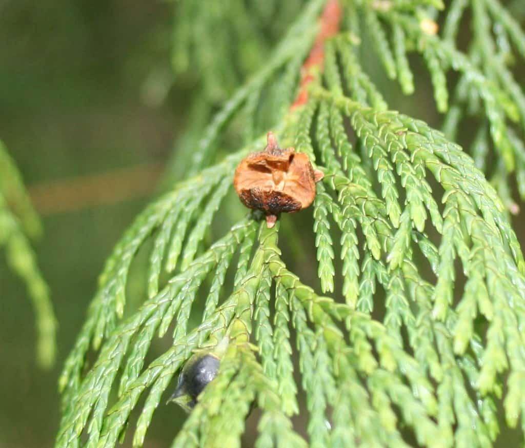 Nootka cypress (Cupressus Nootkatensis)
