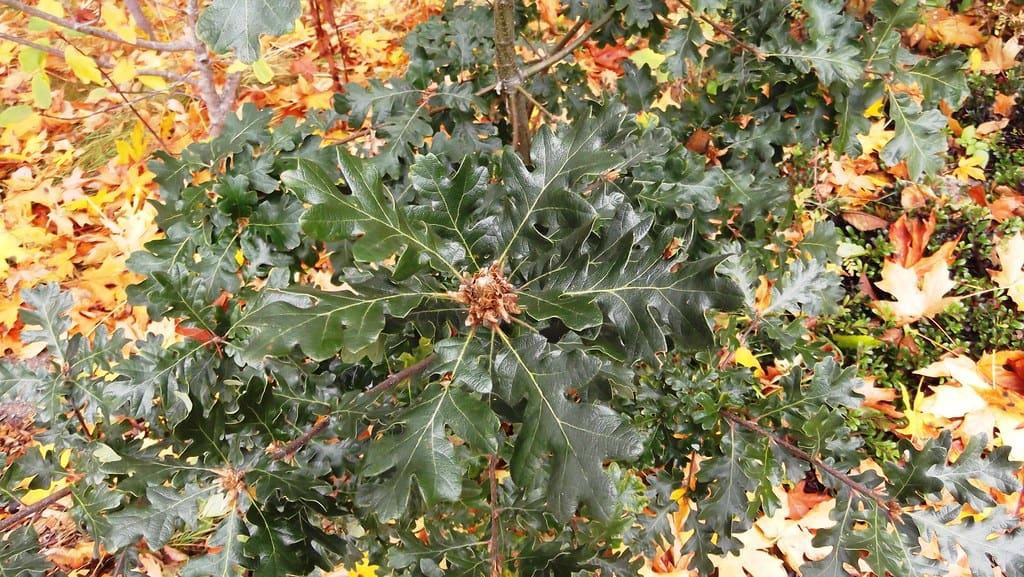 Oregon Oak (Quercus Garryana)