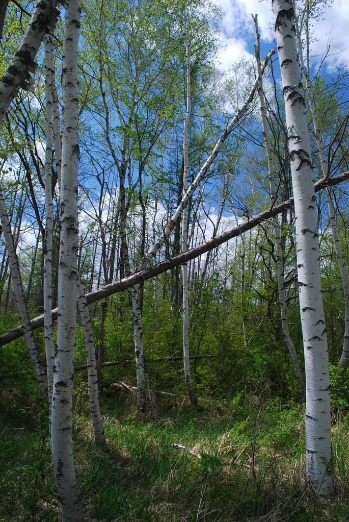Paper Bark Birch (Betula Papyrifera)