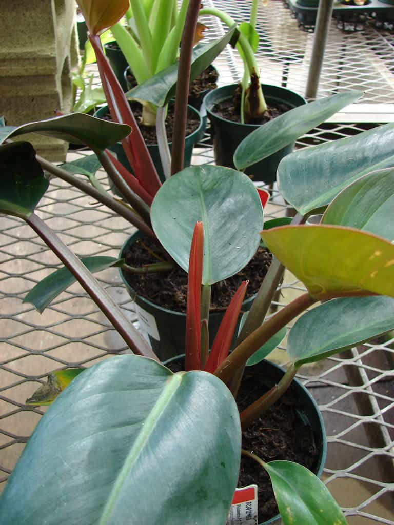 Philodendron' Congo Rojo'