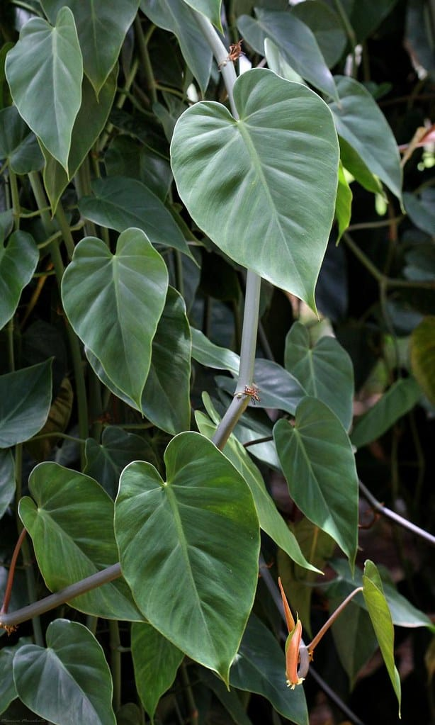 Philodendron Hederaceum (Green Heartleaf Philodendron)