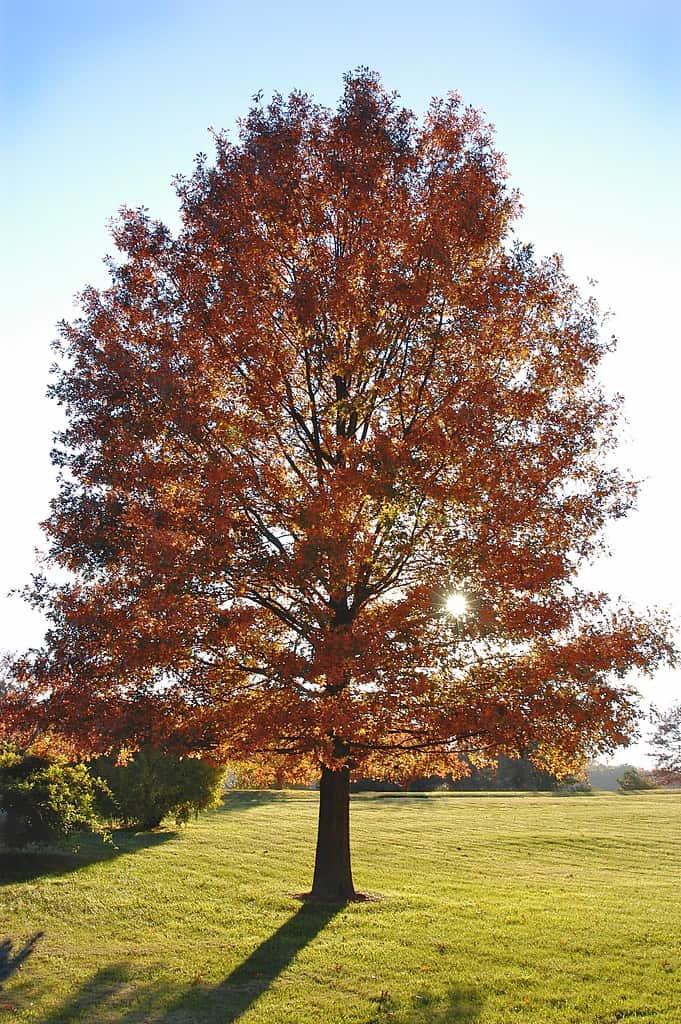 Pin Oak (Quercus Palustris)