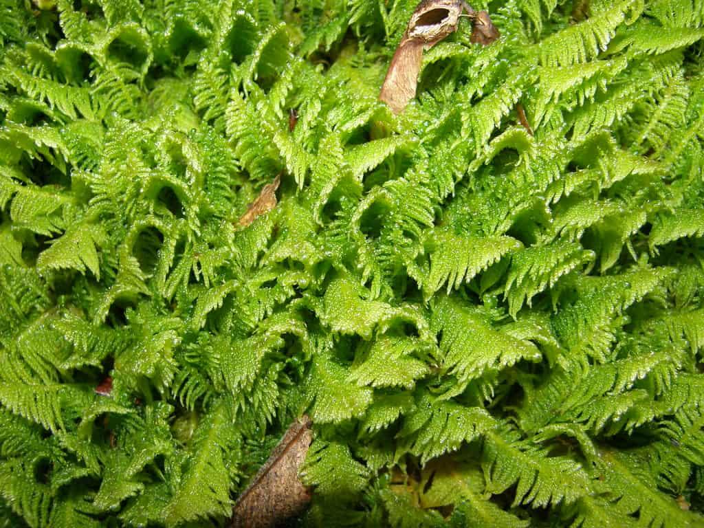 Plume (Ptilium crista-castrensis)