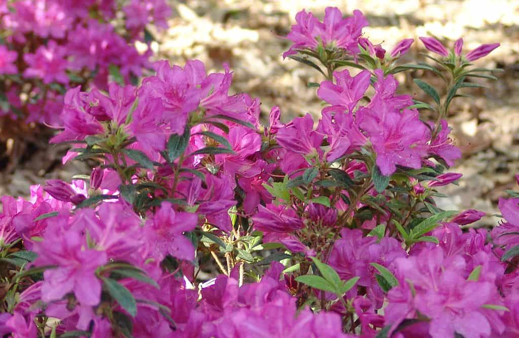 Rhododendron Autumn Amethyst