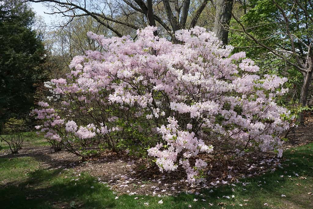 Royal Azalea (Rhododendron Schlippenbachii)