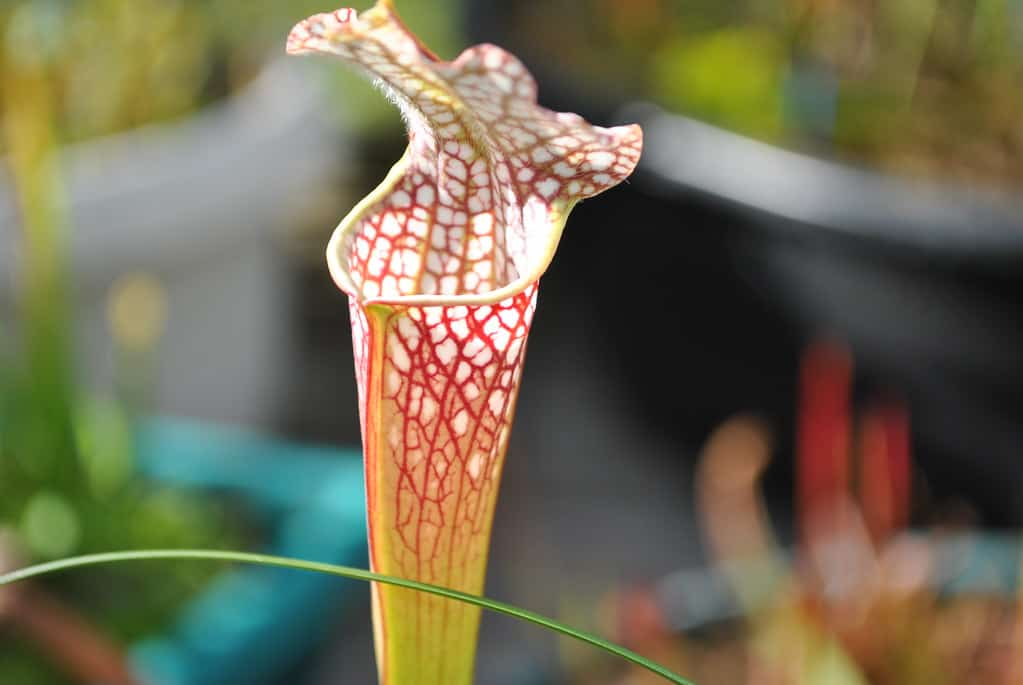 White Trumpet Pitcher Plant (Sarracenia leucophylla)