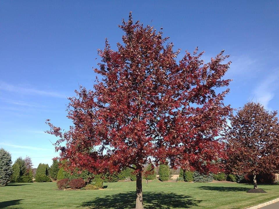 Scarlet Oak (Quercus Coccinea)