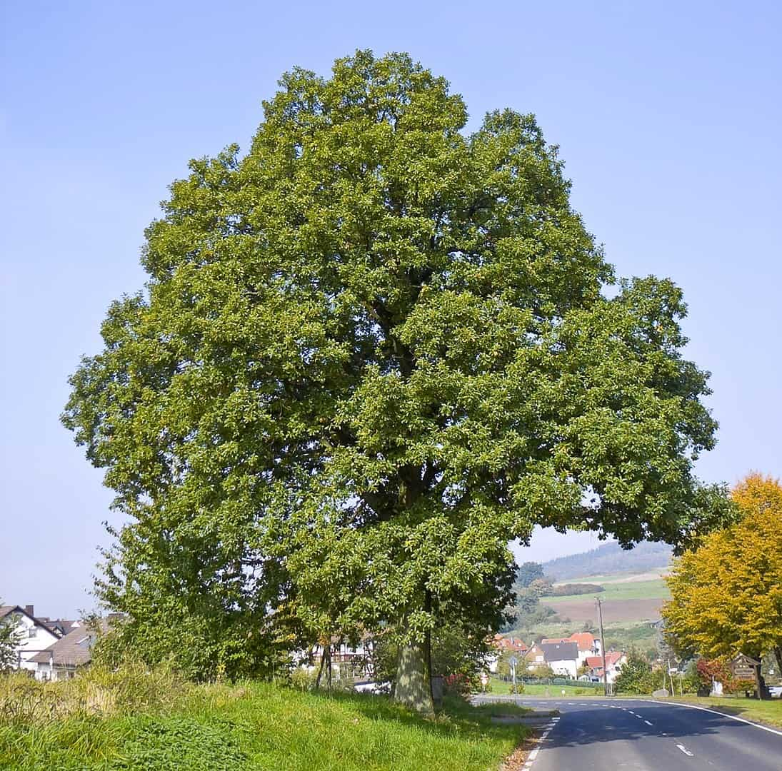 Sessile Oak (Quercus Petraea)
