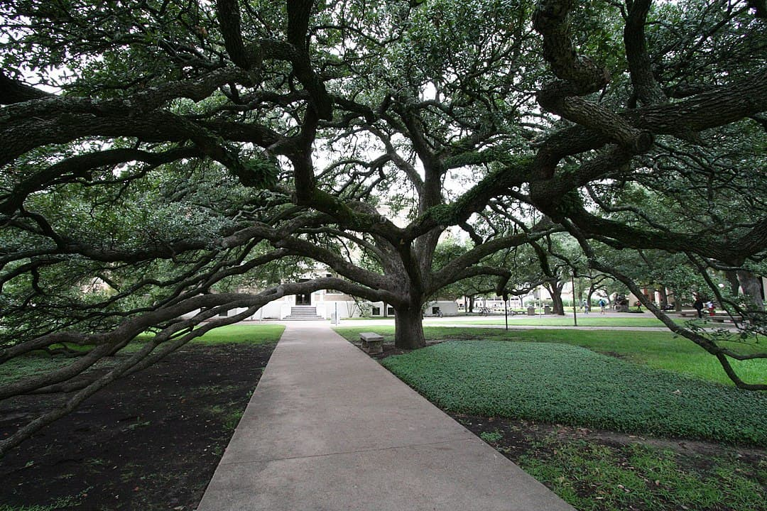Southern Live Oak (Quercus Virginiana)
