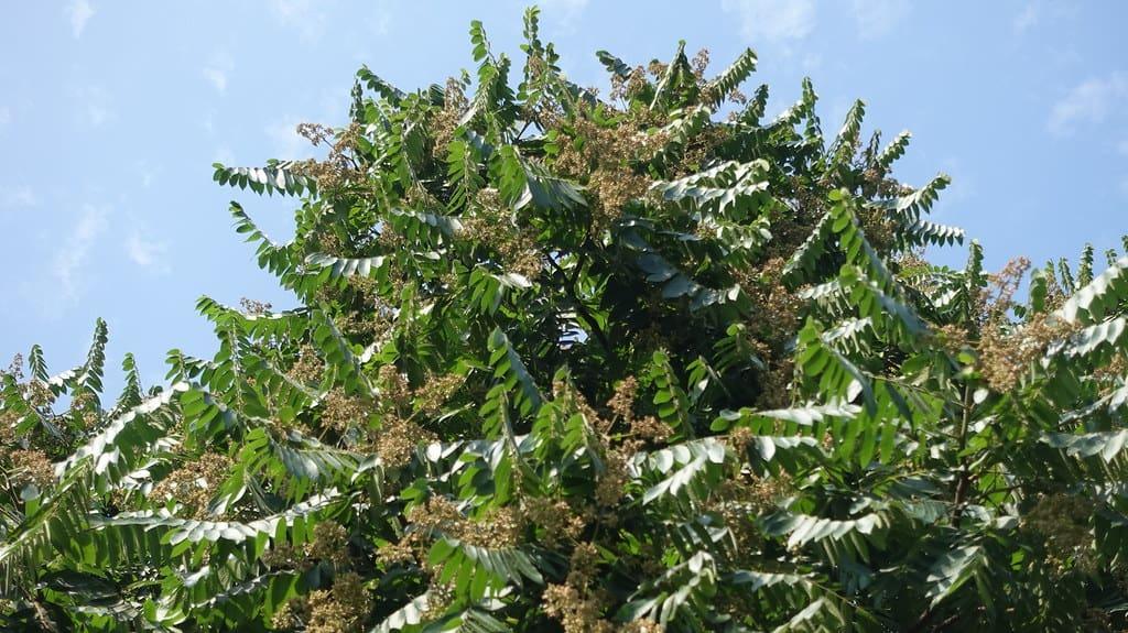 Spanish Cedar (Cedrela Oderate)