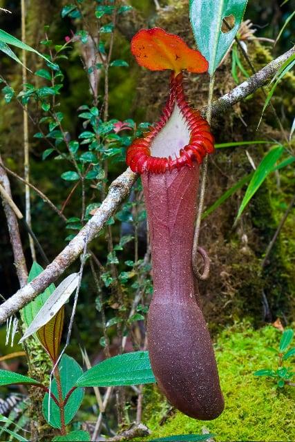 Splendid Pitcher Plant (Nepenthes edwardsiana)