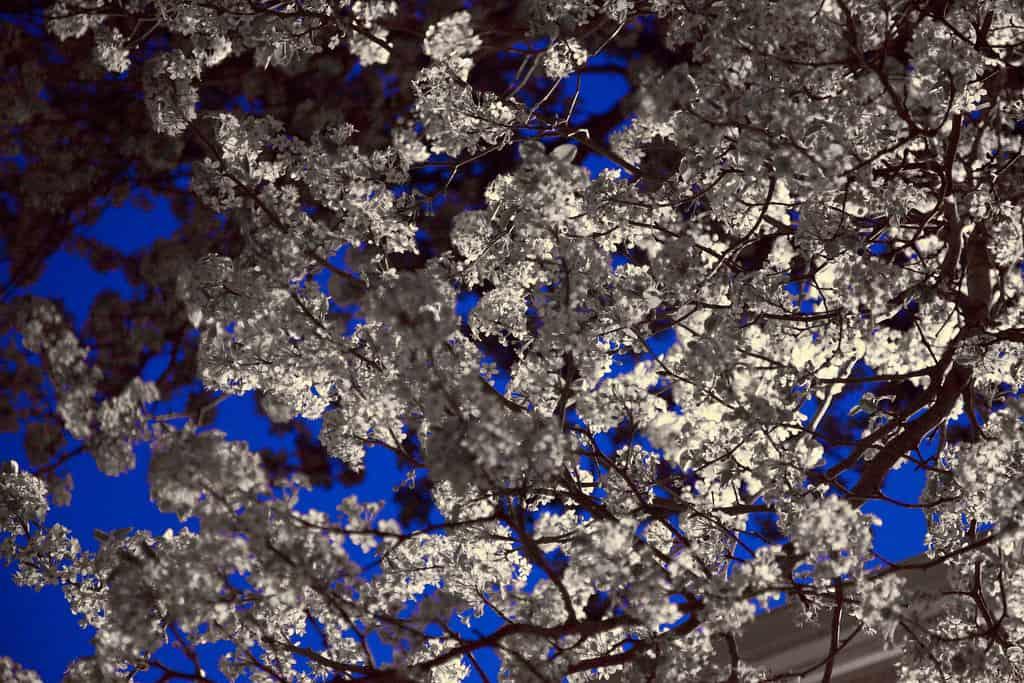 Spring Snow Crabapple tree (Malus 'Spring Snow')