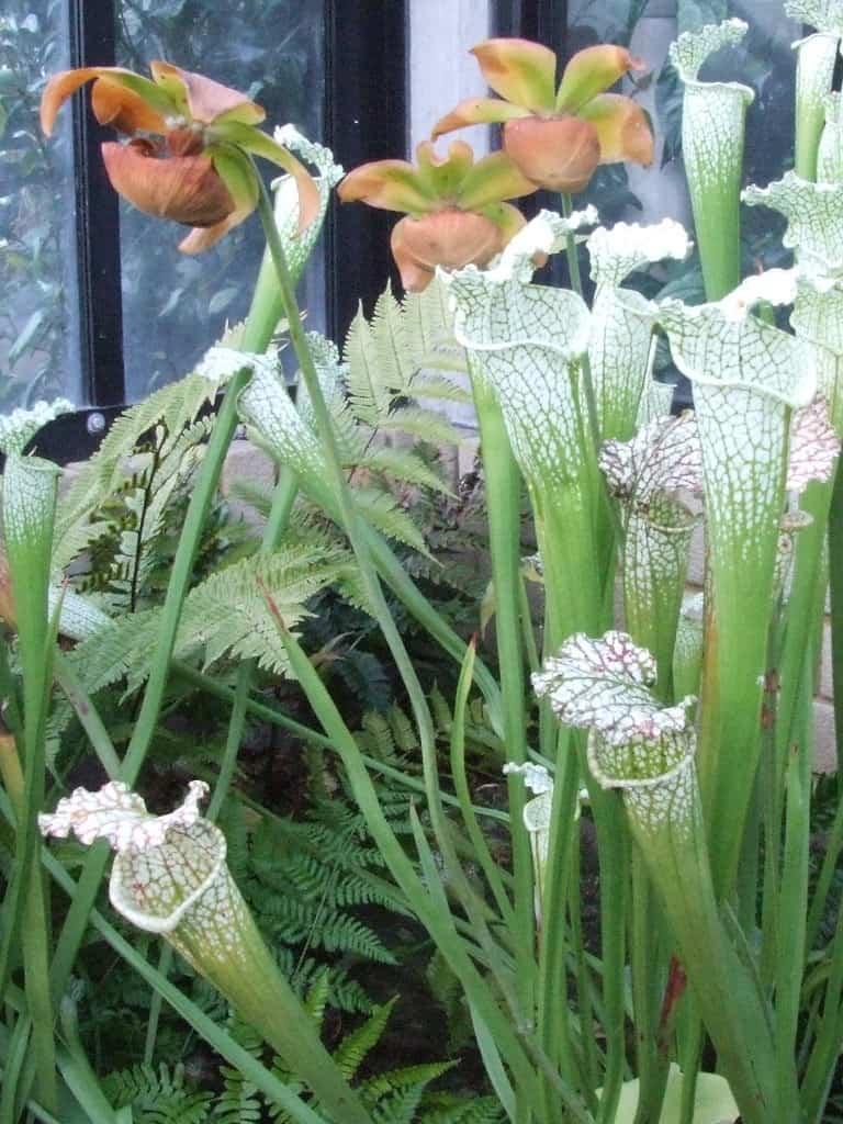 Sun Pitcher Plant (Heliamphora spp.)