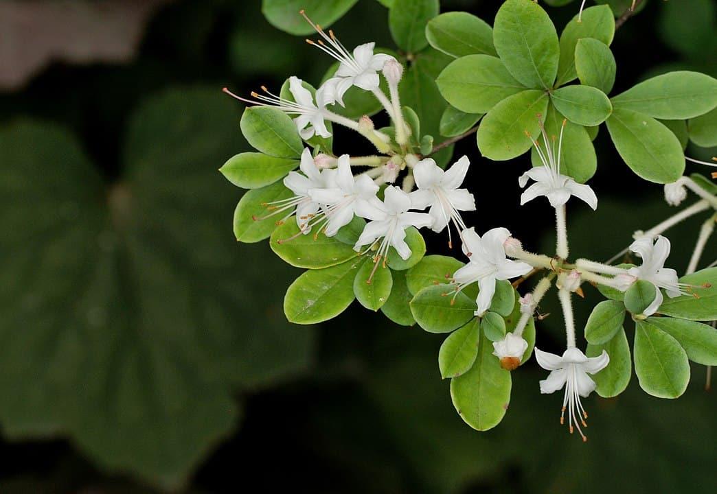 Swamp Azalea (Rhododendron Viscosum)