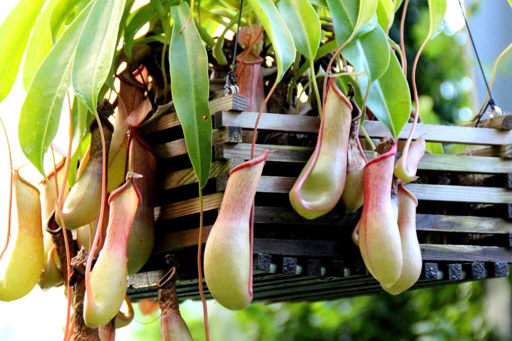 Tropical Pitcher Plants (Nepenthes spp.)