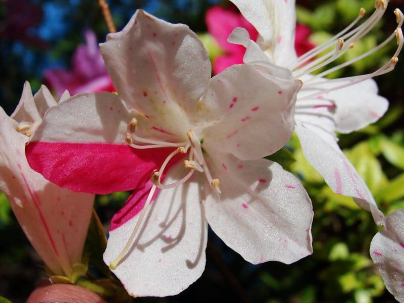 Variegated Gem Azalea (Rhododendron' Girard's Variegated Gem')
