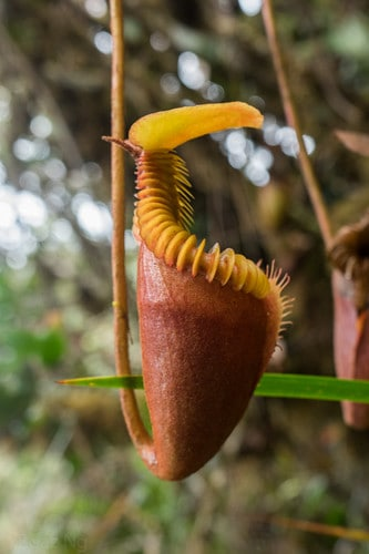 Villose Pitcher Plant (Nepenthes Villosa)