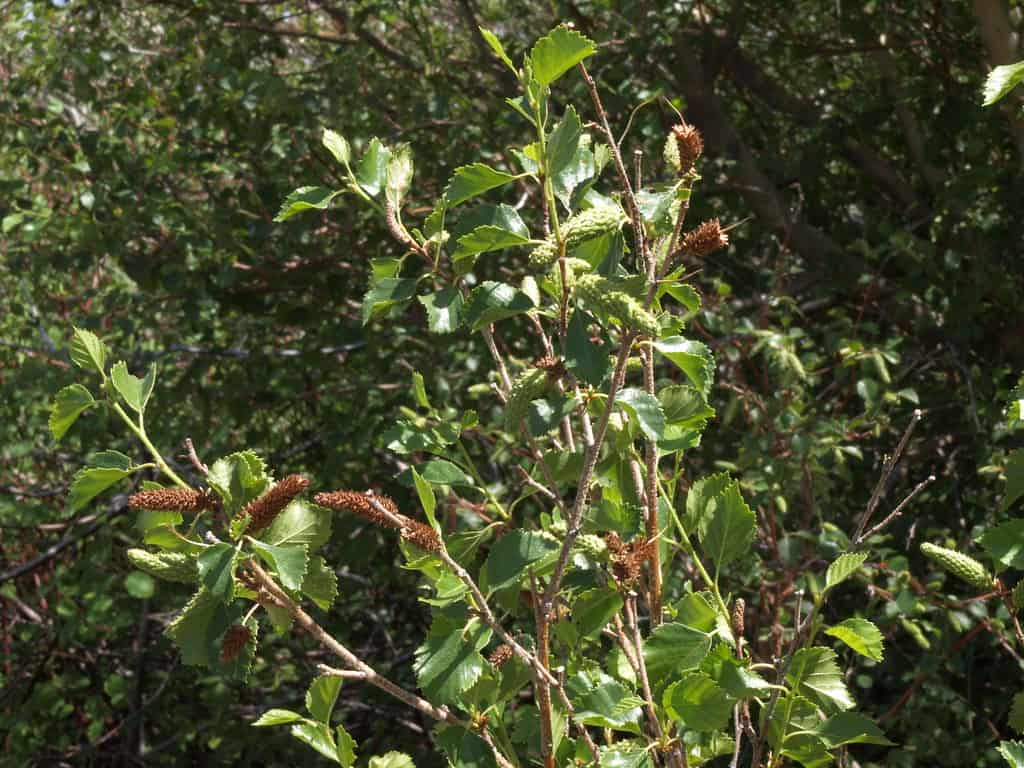 Water Birch (Betula Fontinalis)