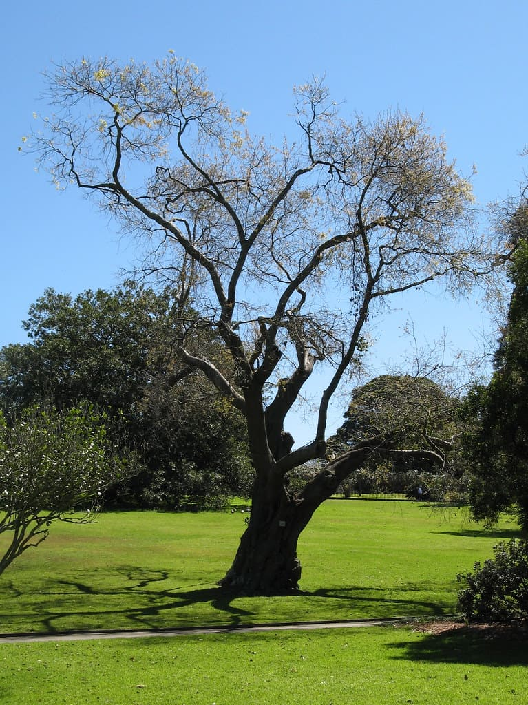 Water Oak Tree (Quercus Nigra)