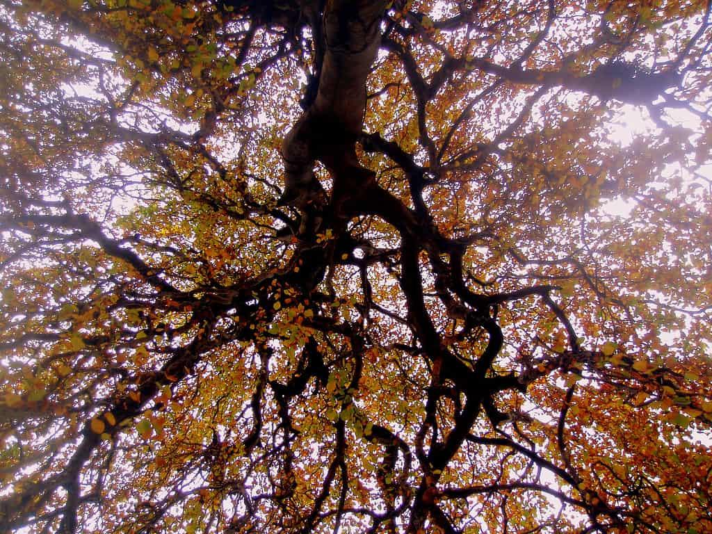 Weeping Birches (Betula Pendula Var.)