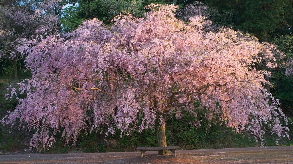Weeping Cherry Tree (Prunus x 'Snofozam' White)