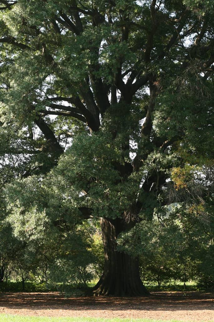 Willow Oak (Quercus Phellos)