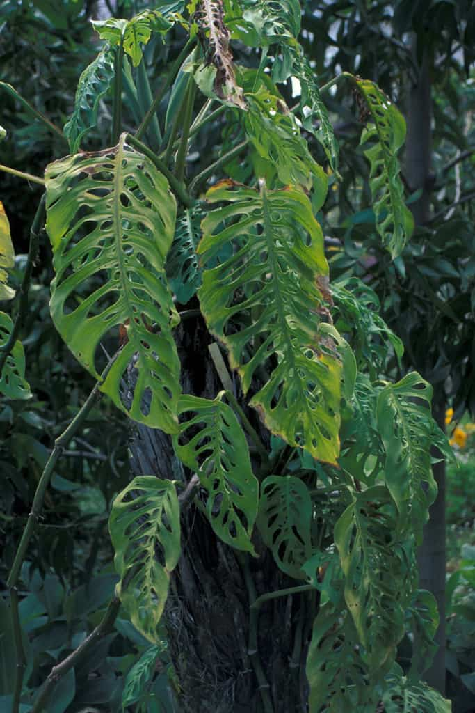 Window Leaf Philodendron