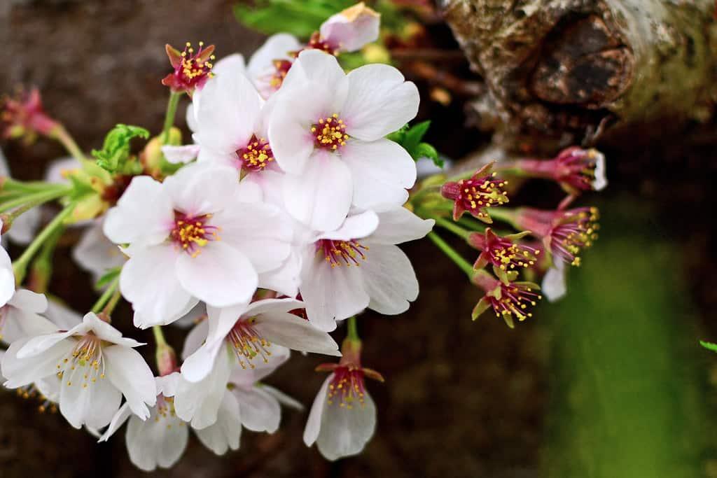 Yoshino cherry tree (Prunus x yedoensis)